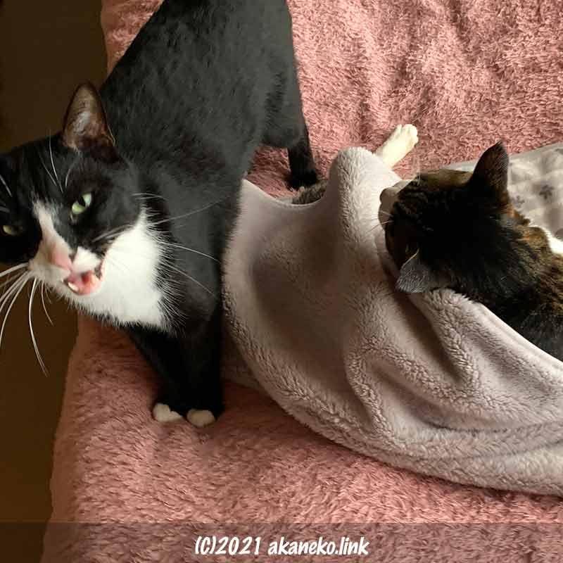 キジ猫の昼寝の邪魔をする猫