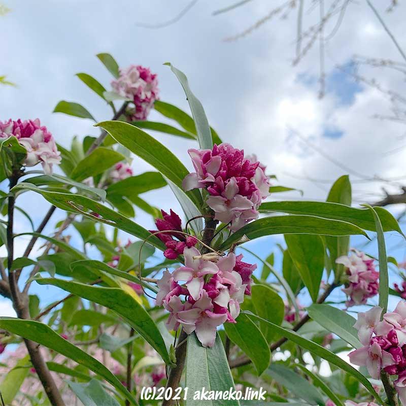 花盛りの沈丁花
