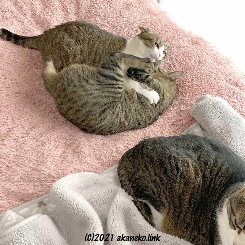 毛布の上で取っ組み合いをする猫2匹