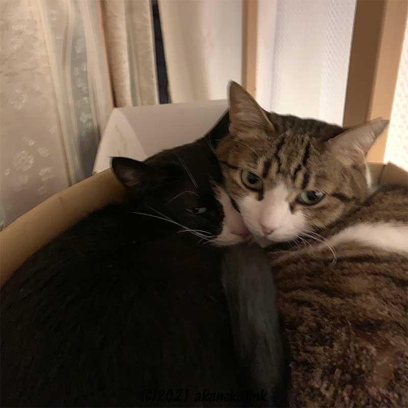 段ボールの中で顔を寄せる猫2匹