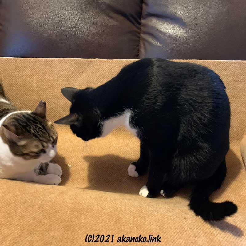 カーペット生地の取り合いをする2匹の猫