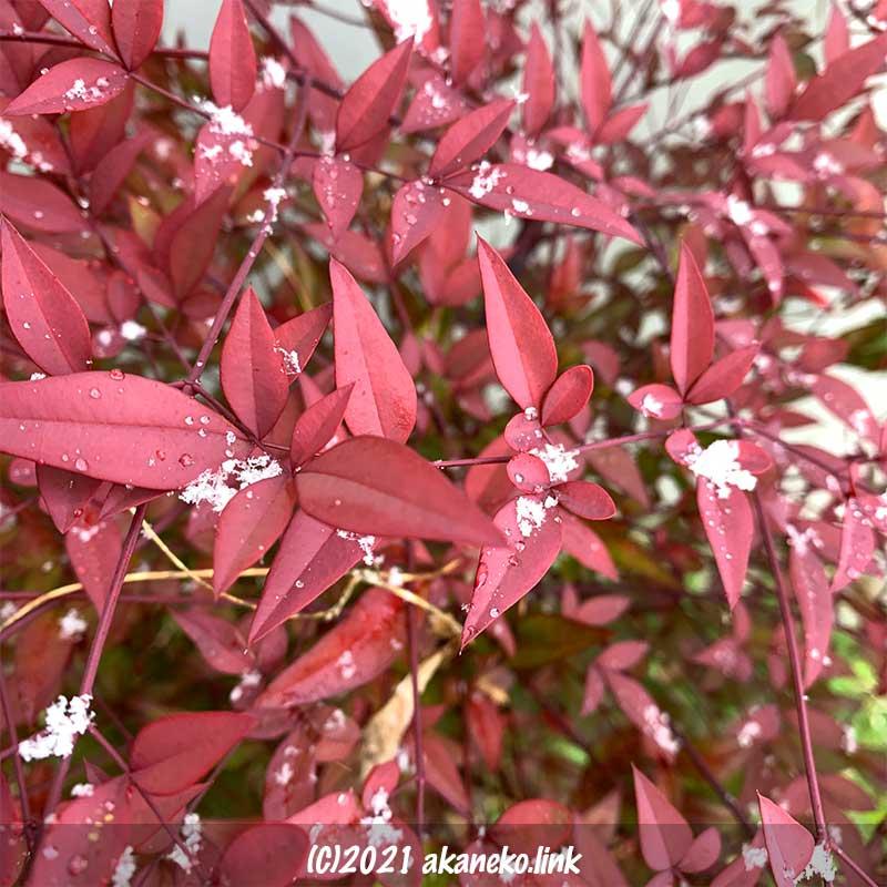 真っ赤な南天の葉に落ちる春の雪