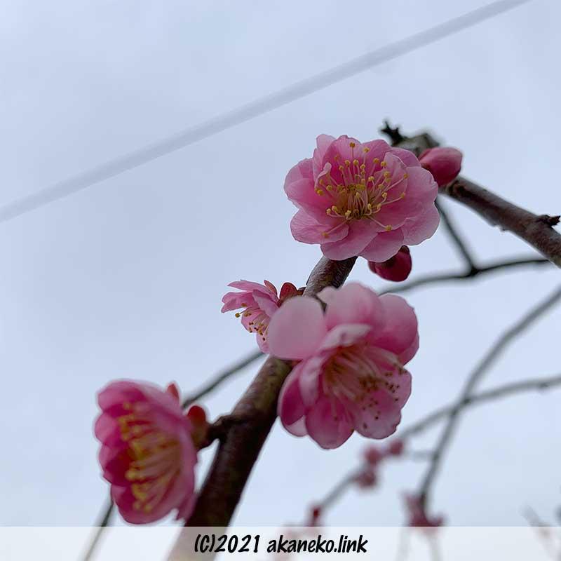 八重咲きのしだれ梅(赤花)