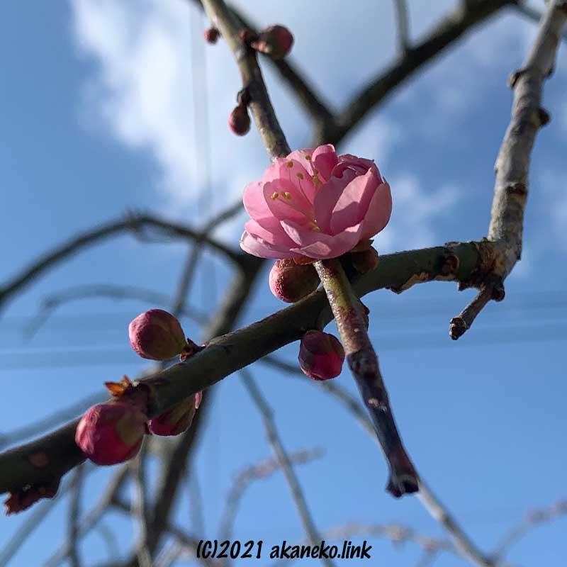 枝垂れ梅(赤花)の初花