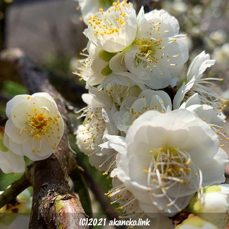 房咲の枝垂れ梅の白花