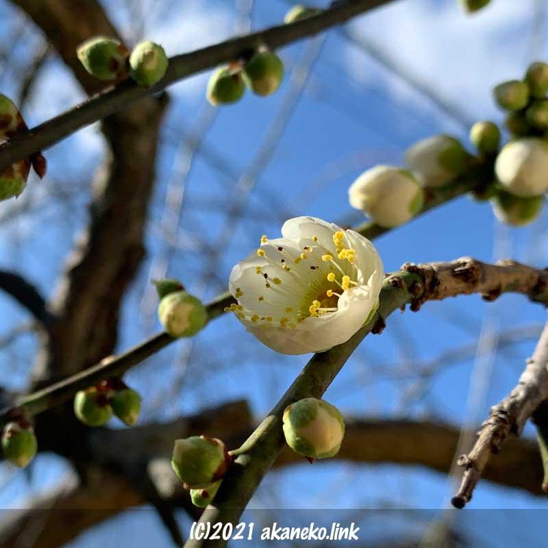 枝垂れ梅(白花)の初花