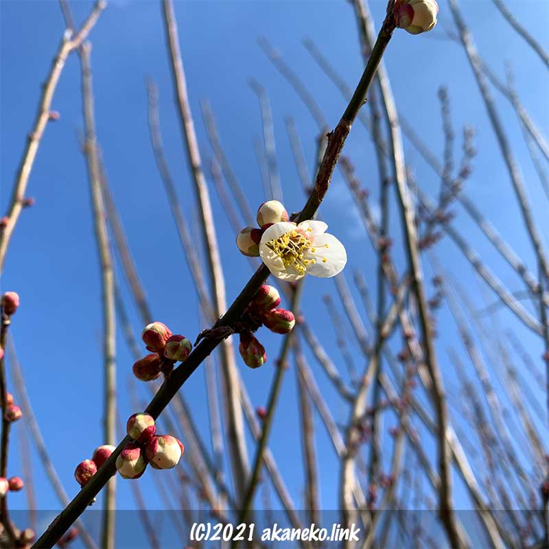 青空と白梅の花一輪