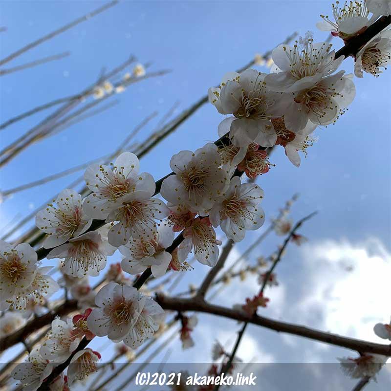 青空の下、満開の実梅の花