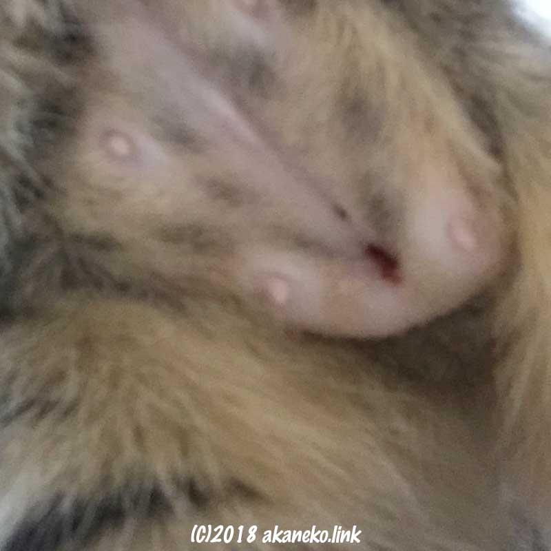 避妊手術から一週間、少し傷口が開いた子猫のお腹