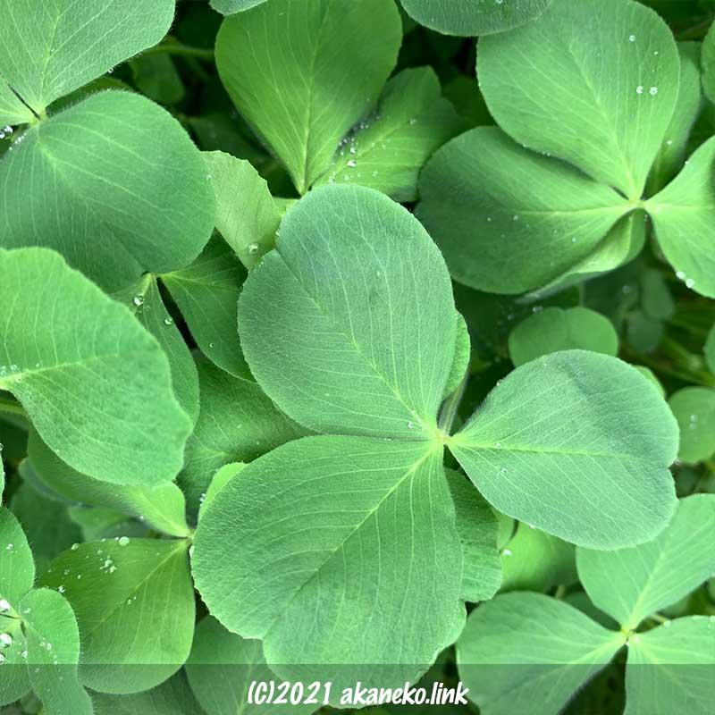 密に茂ったクリムソンクローバーの葉