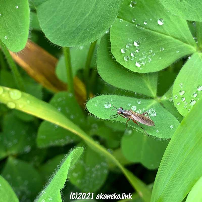 クローバーの葉の上のヒゲナガヤチバエ