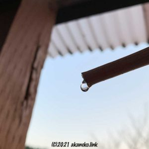 春になり剪定枝から滴る葡萄の樹液