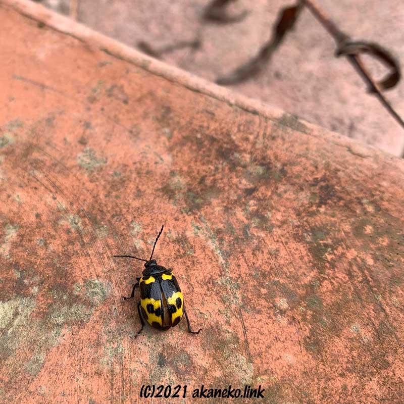 少し翅を開いたイタドリハムシ(イタドリヒゲナガハムシ)