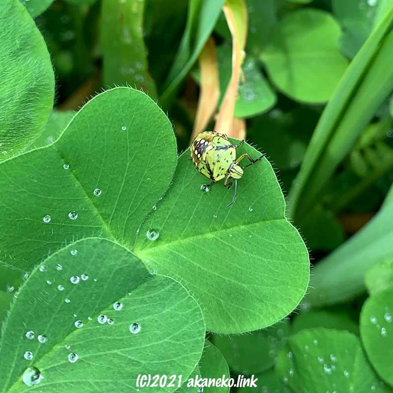 賑やかな模様のある緑色のカメムシの幼虫