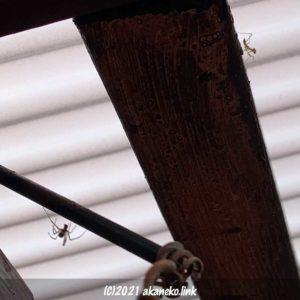 オオカマキリの赤ちゃんと蜘蛛