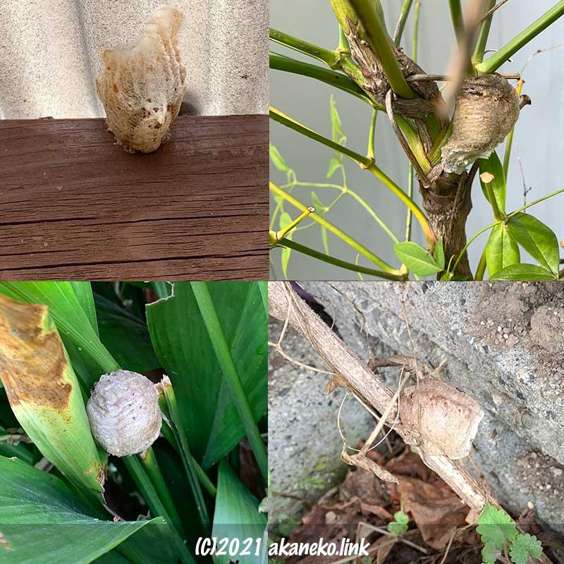 庭に生み付けられたオオカマキリの卵嚢4つ