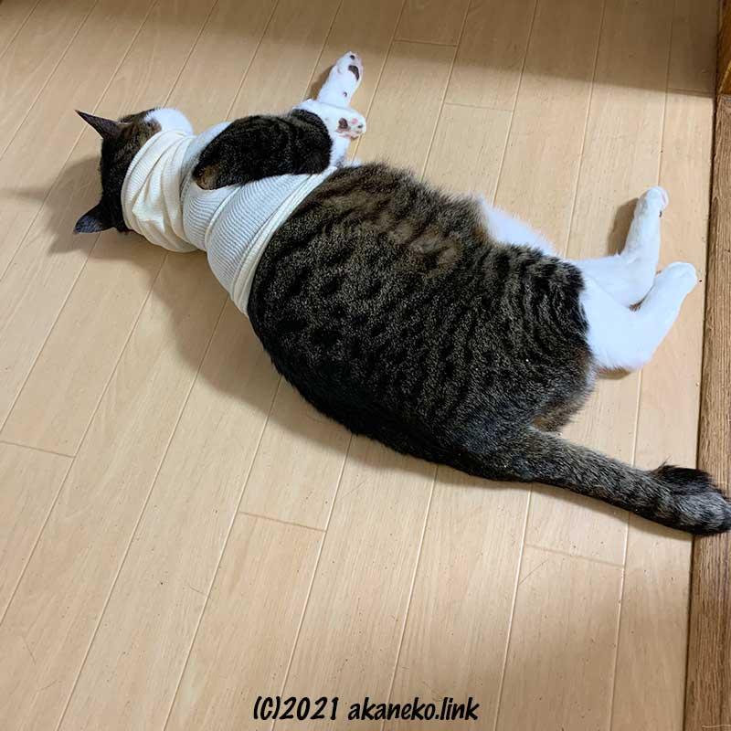 術後服を着て廊下にゴロリと寝た猫