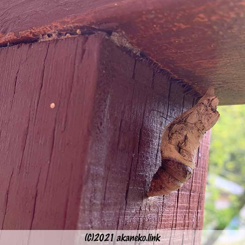 ウッドデッキの手摺り下のナガサキアゲハの蛹
