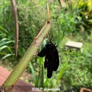 棒に捕まった羽化途中のナガサキアゲハ