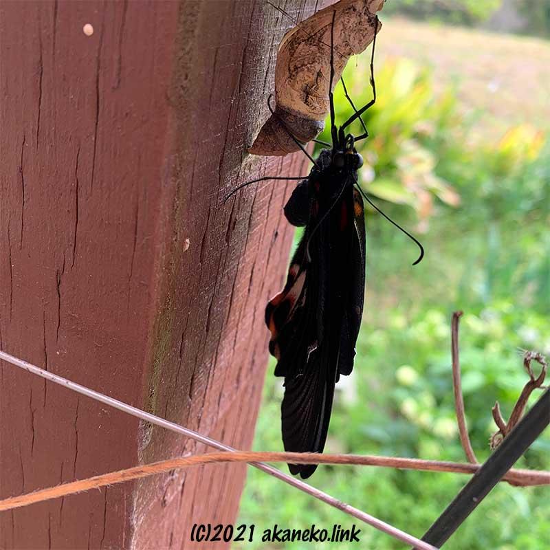蛹の殻につかまる羽化途中のナガサキアゲハ(メス)