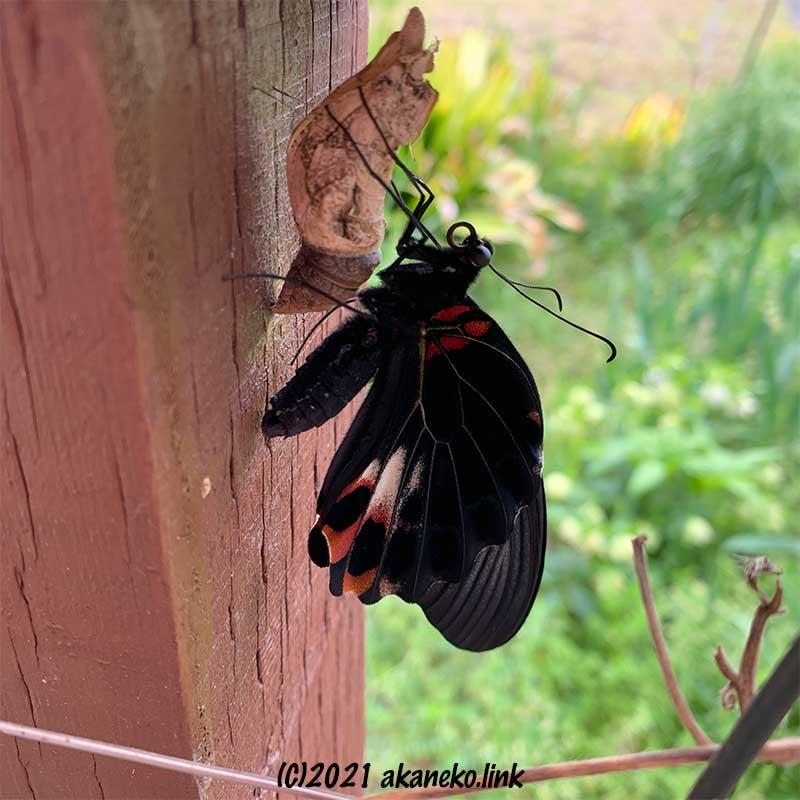 蛹につかまる羽化途中のナガサキアゲハ(メス)