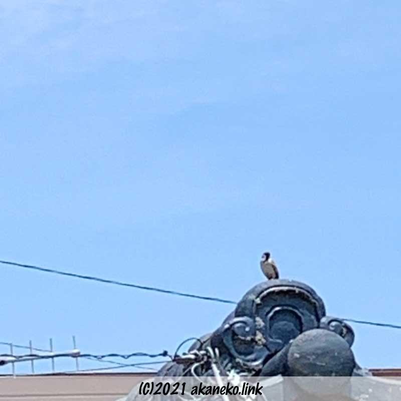 屋根の上で警戒の鳴き声をあげる雀の親鳥