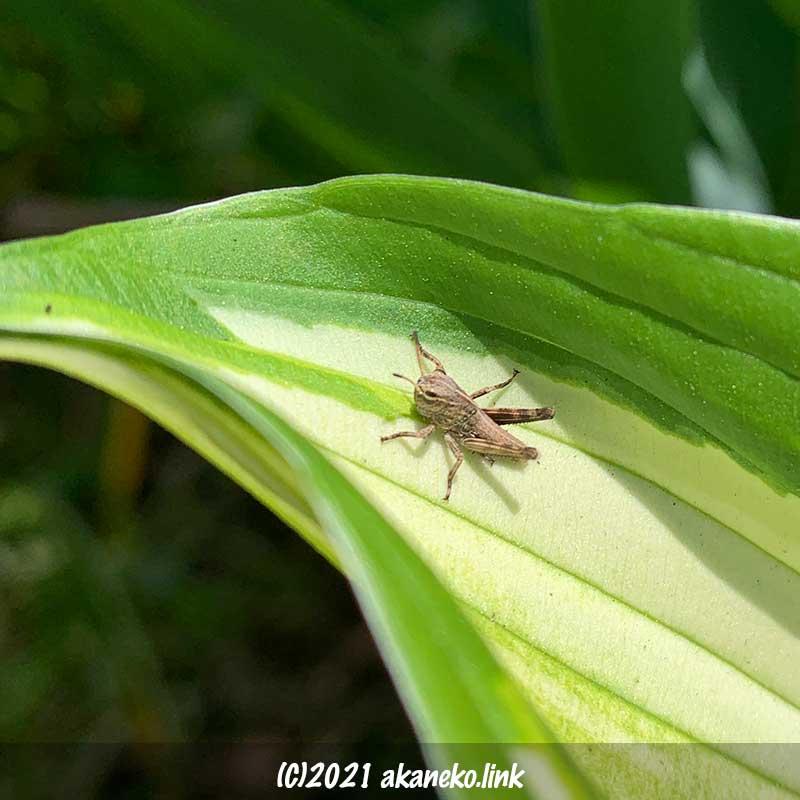トノサマバッタの幼虫(おそらく)