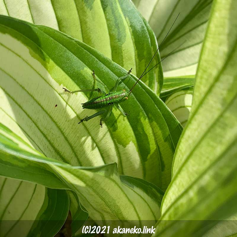 丸っこくて可愛いヤブキリ(バッタ)の幼虫