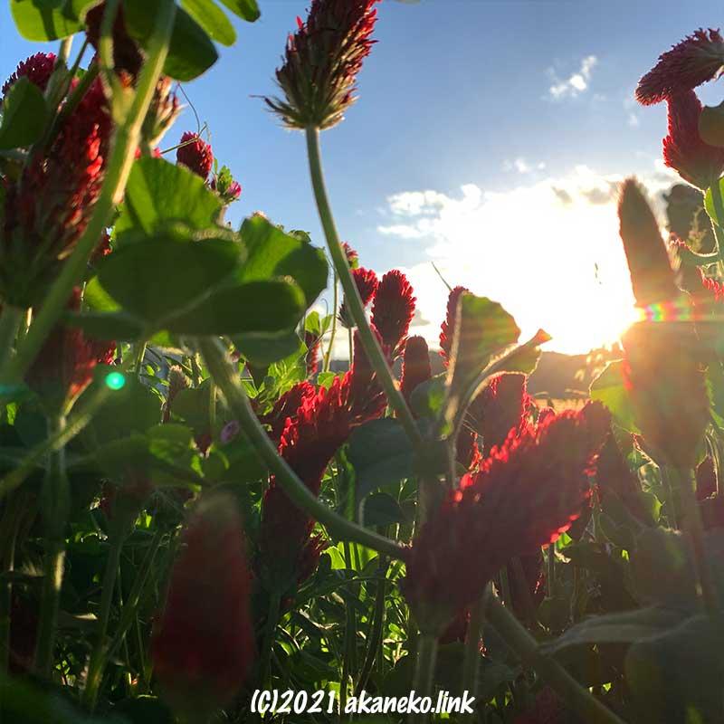 夕陽とクリムゾンクローバー(ストロベリーキャンドル)の花