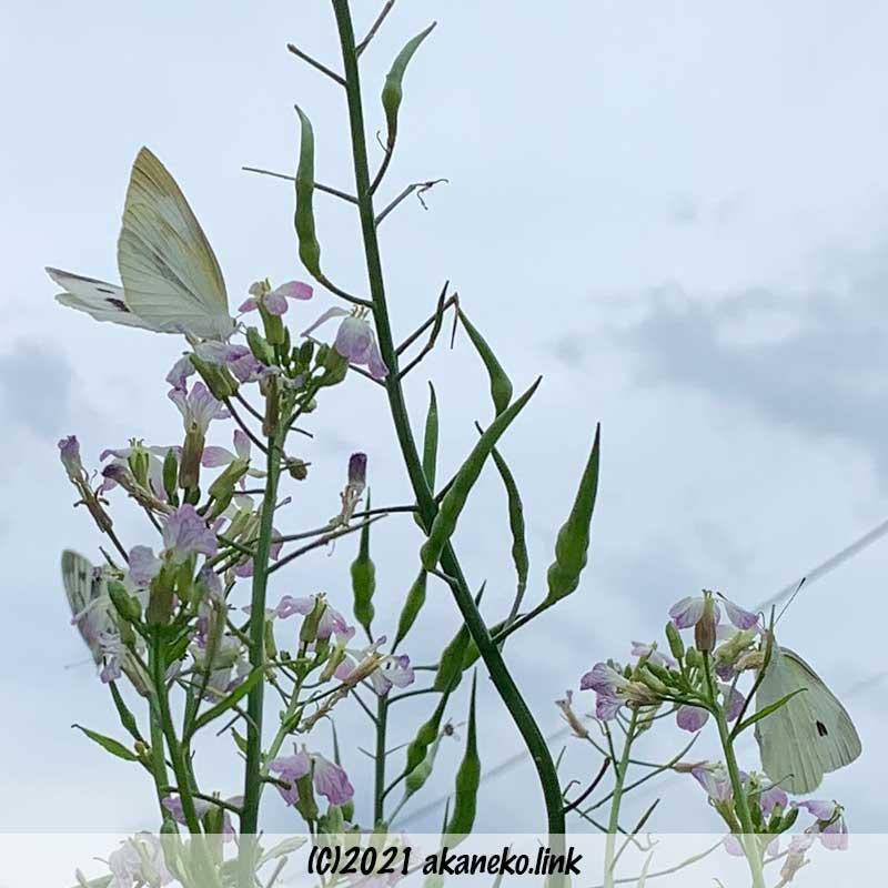 大根の花にやってきたモンシロチョウ