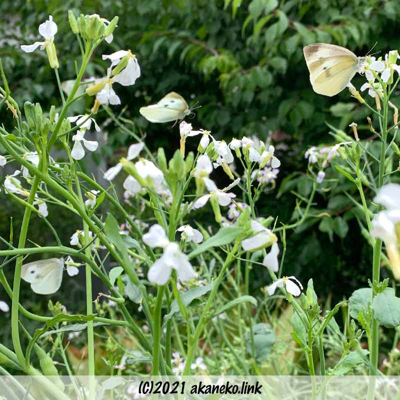 大根の花と3匹のモンシロチョウ