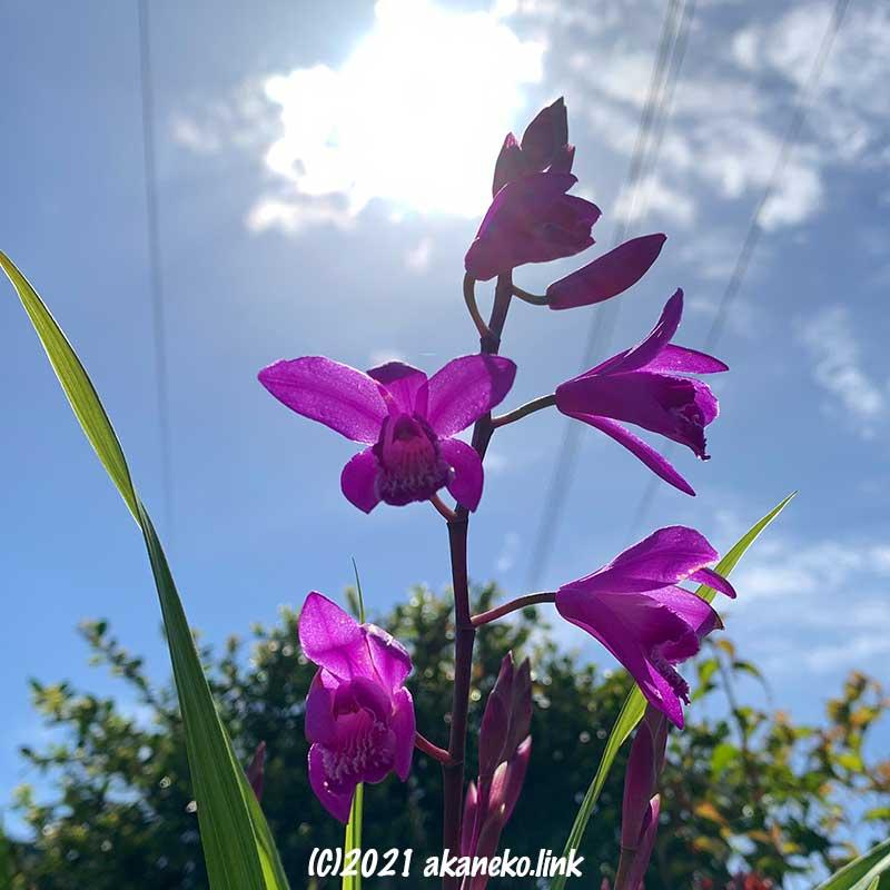 空と紫蘭:20210421撮影