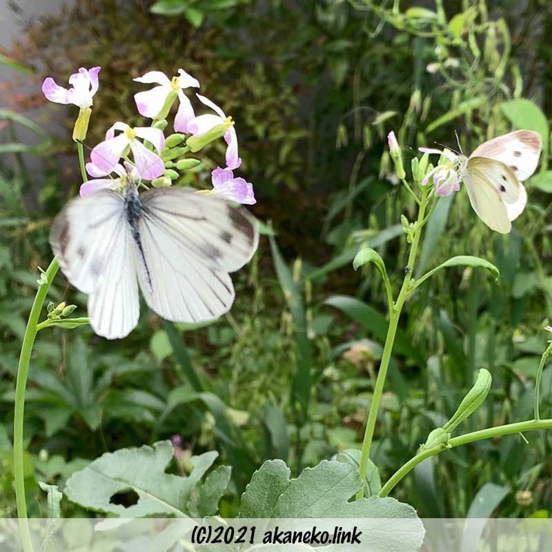 大根の花の蜜を吸うモンシロチョウとスジグロチョウ