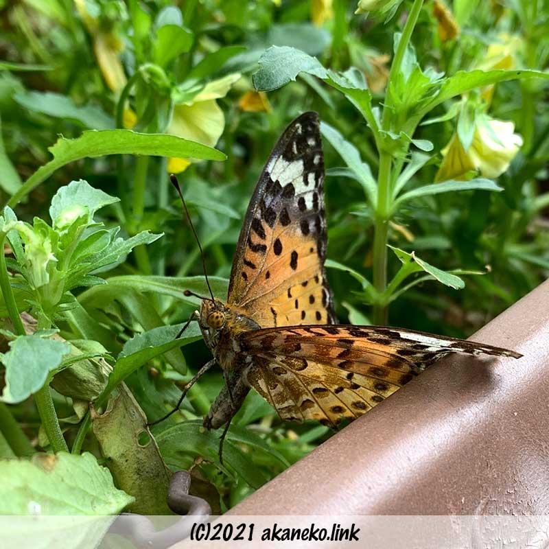 プランターのビオラに散乱する蝶(ツマグロヒョウモン)