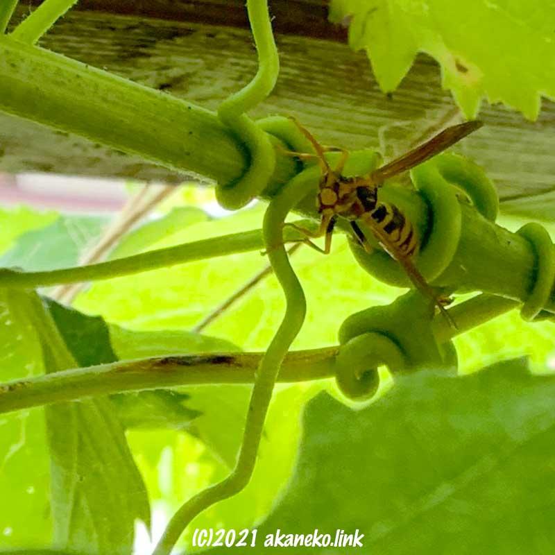 葡萄の葉の間で獲物を探すアシナガバチ