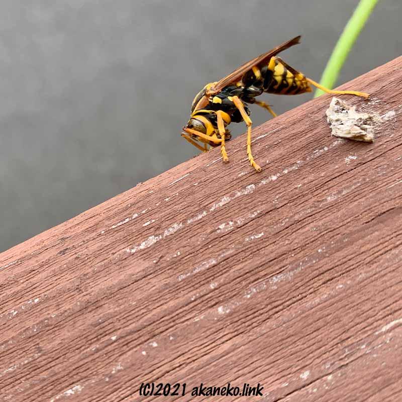 ウッドデッキの手すりで食事中のアシナガバチ
