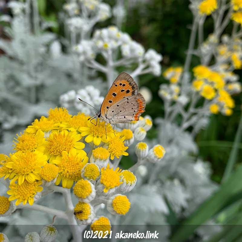 シロタエギクの花の上のベニシジミ蝶