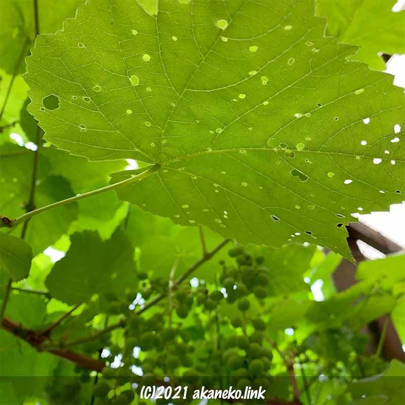 小さな穴が点々とあいたブドウの葉