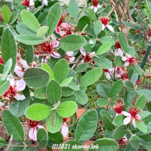 満開のフェイジョア(クーリッジ)の花