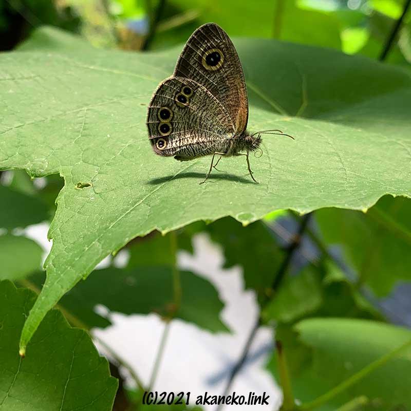 ブドウの葉の上の蝶(ヒメウラナミジャノメ)