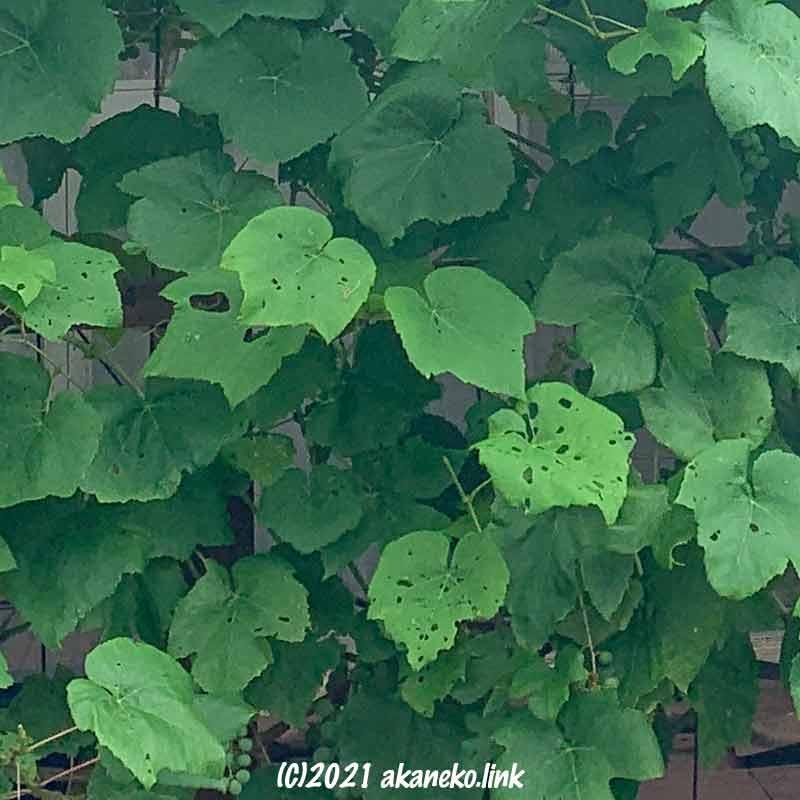 虫食いのあるヒムロッドシードレスの葉