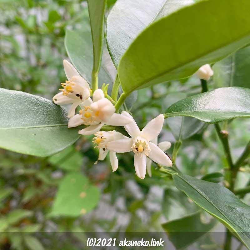金柑の花にアリ