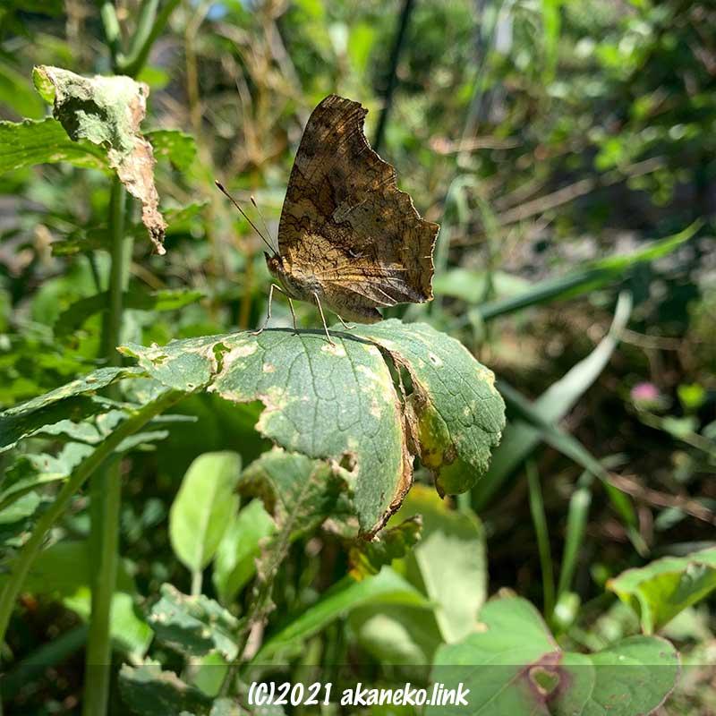 大根の葉の上の蝶(キタテハ)
