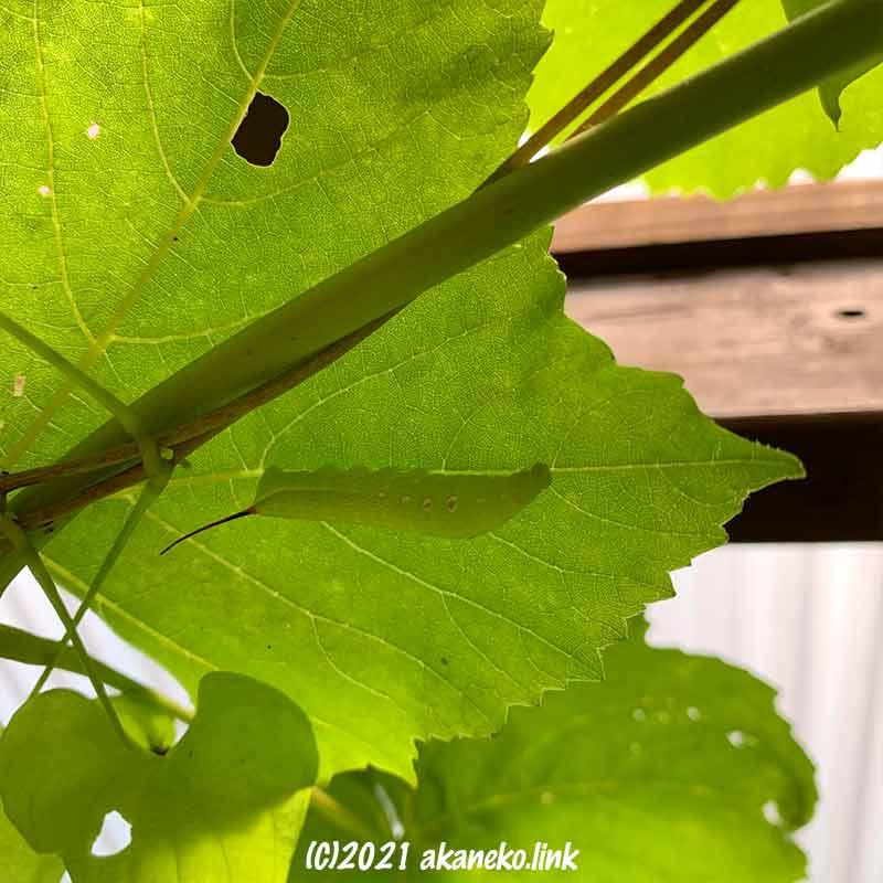 葡萄の葉裏のコスズメ(スズメガ)の幼虫