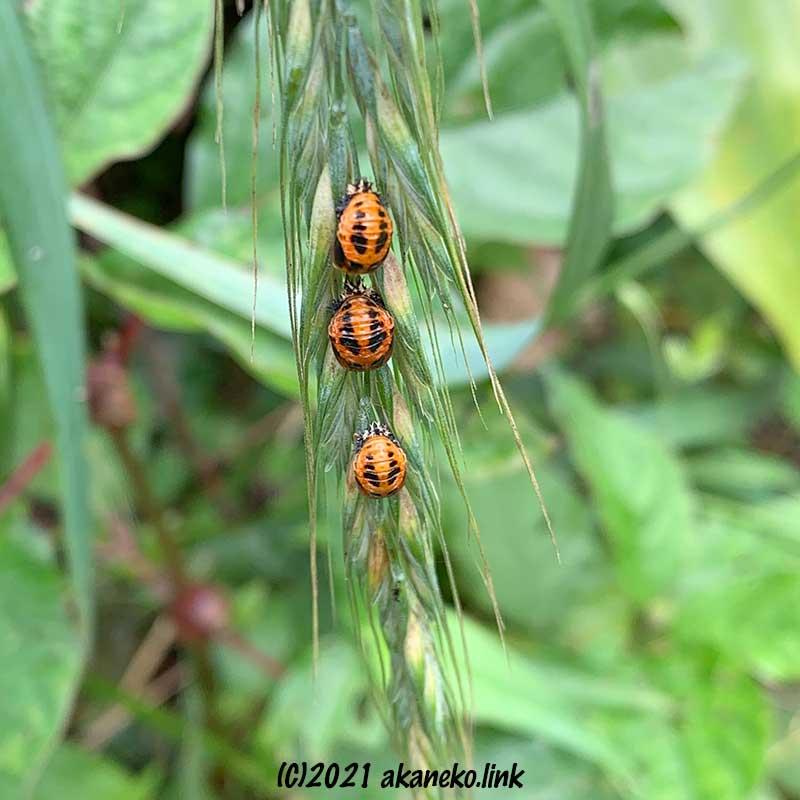 イネ科の雑草の穂にテントウムシの蛹が3つ