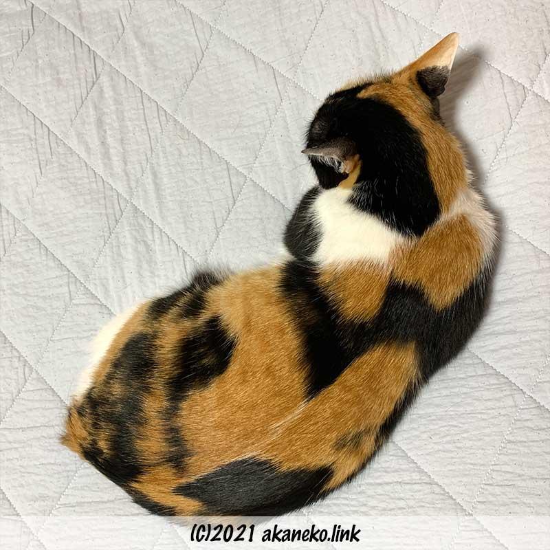 尻尾のない三毛猫みかんの1匹寝