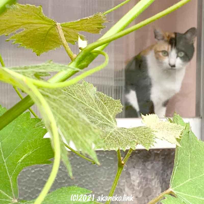 葡萄の葉と三毛猫