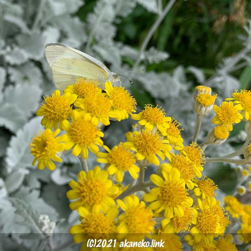 シロタエギクの花の上のモンシロチョウ