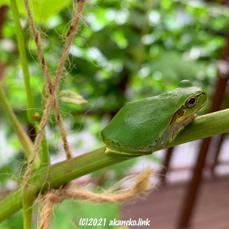葡萄の枝に座るニホンアマガエル