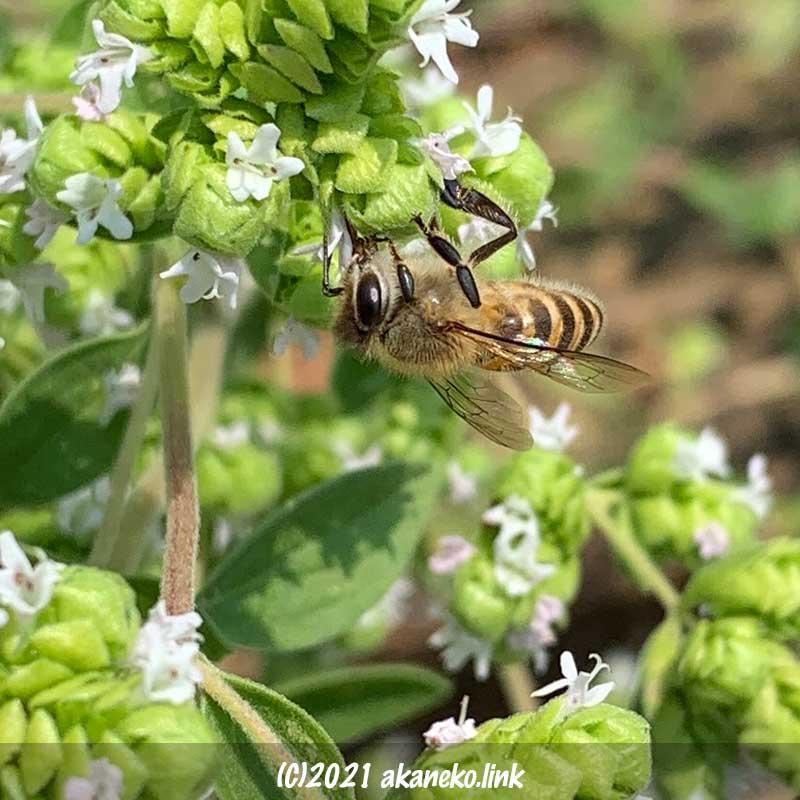 オレガノの蜜を吸うニホンミツバチ